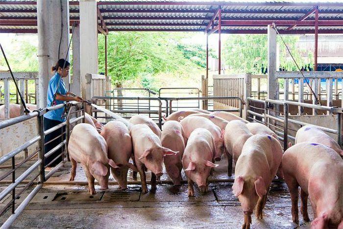 Giá lợn hơi hôm nay 26/4/2021: Giảm nhẹ, thấp nhất 70.000 đồng/kg