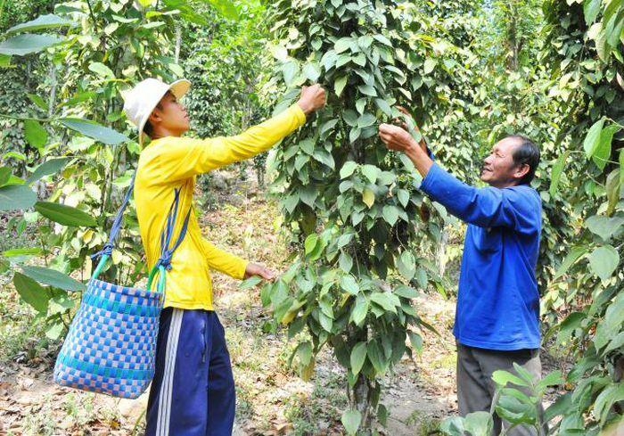 Hiệu quả bất ngờ khi trồng tiêu dưới tán rừng núi Cấm