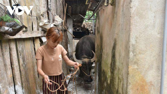 Nhiều hộ nghèo ở Lào Cai bán trâu giống sau khi được hỗ trợ