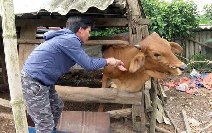 Ngăn ngừa bệnh viêm da nổi cục trên trâu, bò