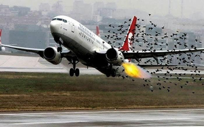 Hoãn bay 4 tiếng vì xác chim kẹt ở càng máy bay