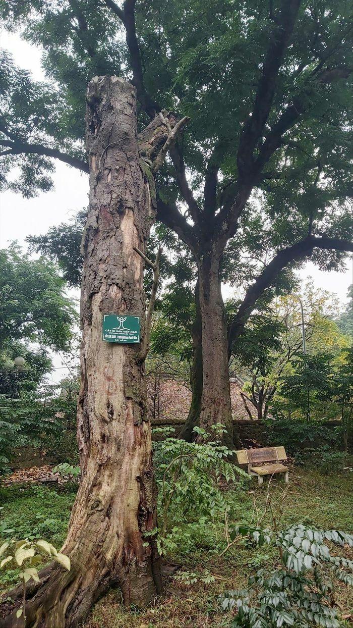 Thăm khám, bảo tồn, kéo dài tuổi thọ cây cổ thụ