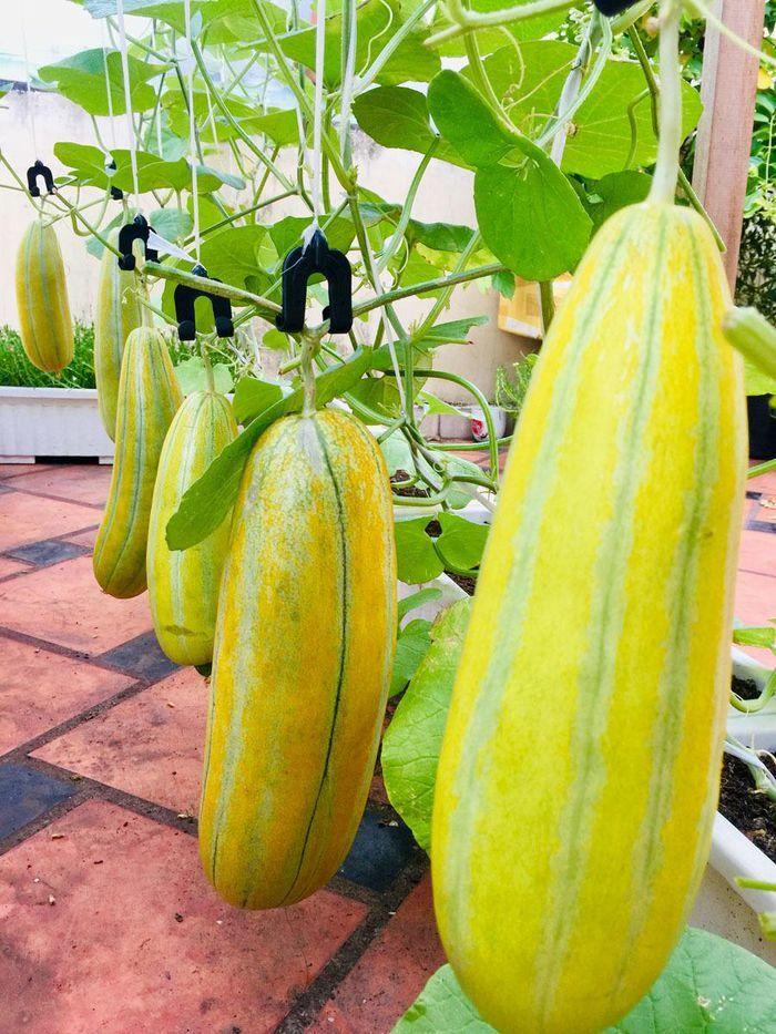 """Vườn treo trĩu quả, """"đã mắt"""" trên sân thượng ở Sài Gòn"""