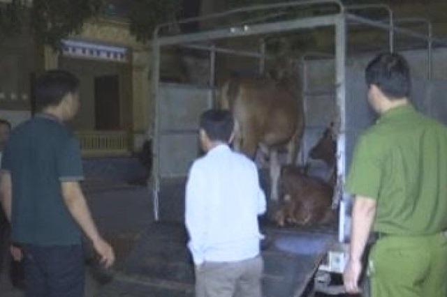 Phát hiện bò bệnh trong vùng dịch được tuồn ra ngoài tiêu thụ