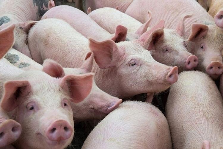 Giá lợn hơi hôm nay 22/4: Tiếp tục giảm trên phạm vi toàn quốc