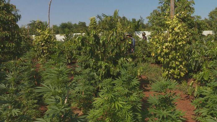 """Đầu tư đèn Led chiếu tia cực tím quy mô """"khủng"""" trồng cần sa tại Đắk Lắk"""
