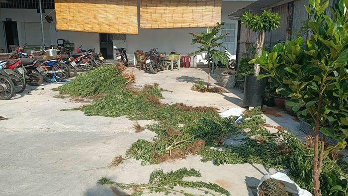 Bình Thuận: Người đàn ông Canada trồng cả vườn cần sa để… trị bệnh