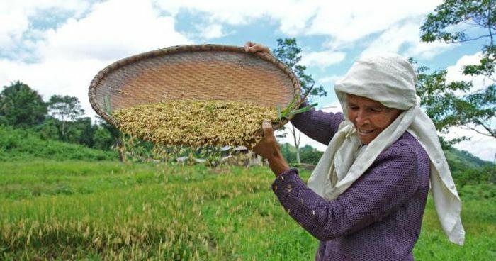 Năng suất lúa giảm khi nhiệt độ tăng do biến đổi khí hậu