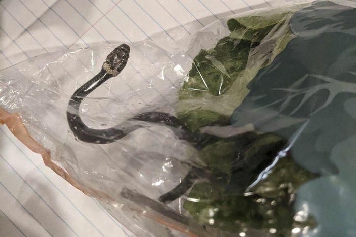 """Hết hồn vì mua túi rau diếp tại siêu thị được """"khuyến mại"""" kèm rắn độc"""