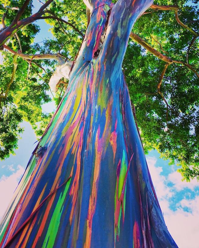 """Thân cây gỗ 7 sắc cầu vồng tạo nên cánh rừng ngoạn mục như ở """"xứ sở thần tiên"""""""