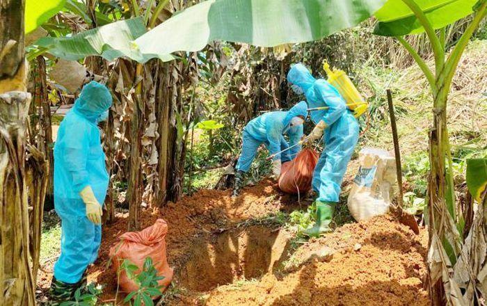 Tiêu hủy hàng trăm con lợn mắc dịch tả lợn Châu Phi