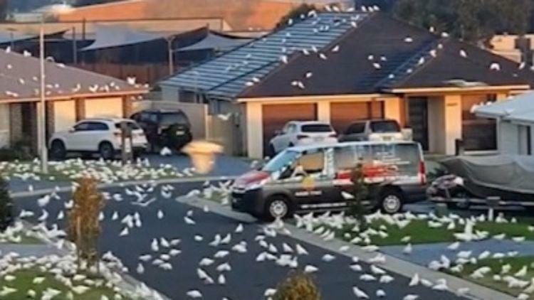 Thị trấn Australia khốn khổ vì bị vẹt trắng chiếm đóng - ảnh 1