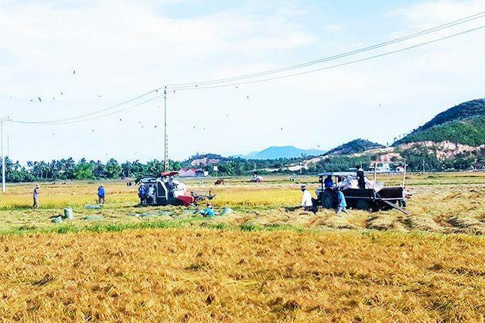 Vạn Ninh: Thu hoạch khoảng 3.040 ha lúa đông xuân