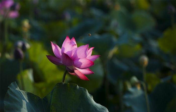 Lặng ngắm sắc sen hồng xứ Huế