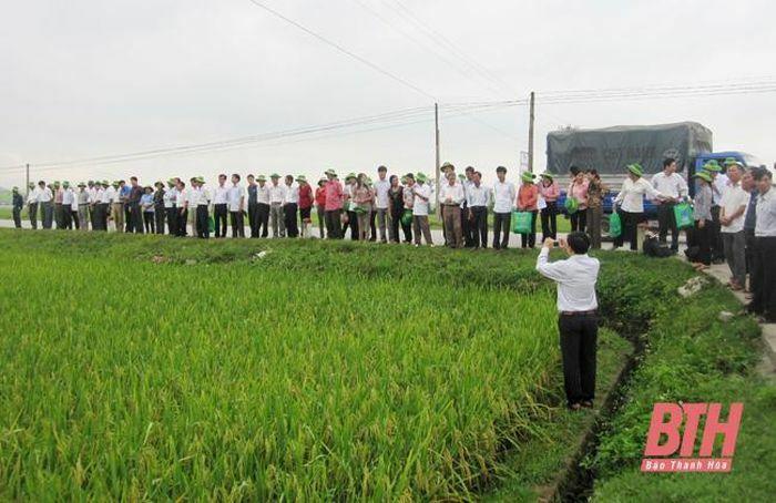 Nhân rộng mô hình liên kết sản xuất lúa theo chuỗi