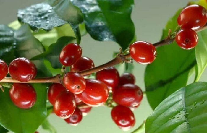 Giá cà phê hôm nay 18/5: Arabica tăng nhẹ trong khi xuất khẩu Robusta Việt Nam dự báo khả quan