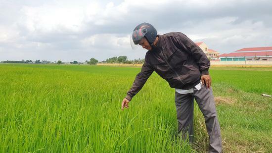 """Tây Ninh: Trồng lúa cả tháng, nông dân mới """"ngã ngửa"""" vì xuất hiện lúa """"hai tầng"""", có cả lúa """"ma"""""""