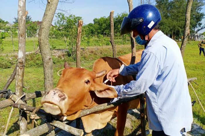 Tiêm 50.000 liều vacxin viêm da nổi cục cho trâu, bò