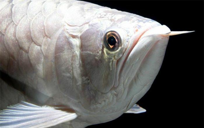 Mãn nhãn với những loại cá cảnh đắt đỏ bậc nhất thế giới