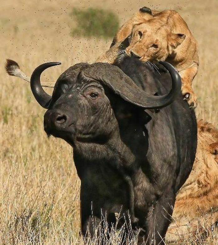 15 con sư tử đồng loạt đánh úp, trâu rừng chết thảm