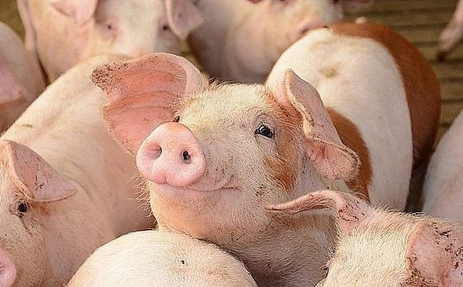Giá lợn hơi hôm nay 8/5: Đi ngang tại khu vực miền Bắc