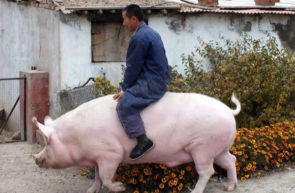 """Nông dân Trung Quốc nếm trái đắng vì nhân giống heo """"siêu to khổng lồ"""""""