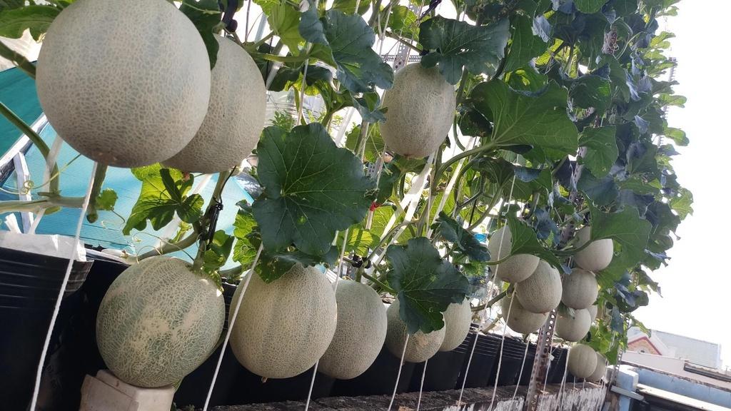 Ông bố trồng thử vườn sân thượng, lúc thu hoạch vỡ òa vì 100 ký dưa lưới
