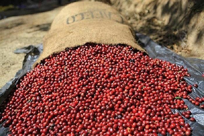 Giá cà phê hôm nay 29/5: Giá cà phê bật tăng kỷ lục; Mối lo sản lượng Brazil vẫn còn nguyên