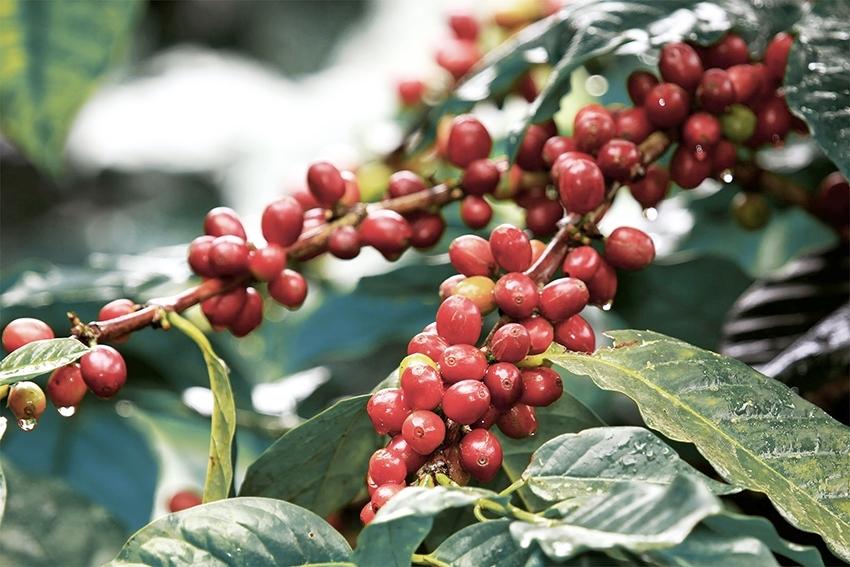 Giá cà phê hôm nay 11/5: Giảm trung bình 500 đồng/kg