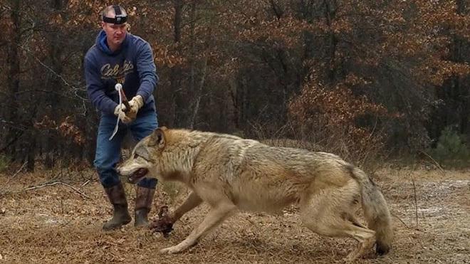 Chó sói to lớn bị người đàn ông dùng gậy bắt chó ghì chặt xuống đất, cái kết cảm động