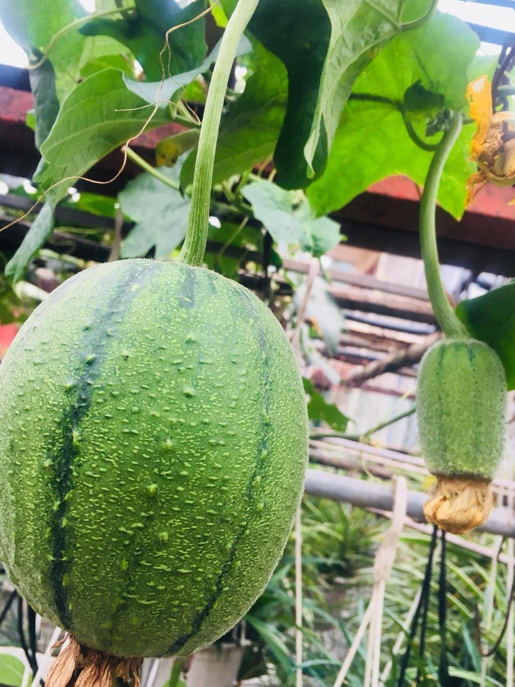 Mướp táo là gì mà đang khiến người yêu trồng cây phát sốt?