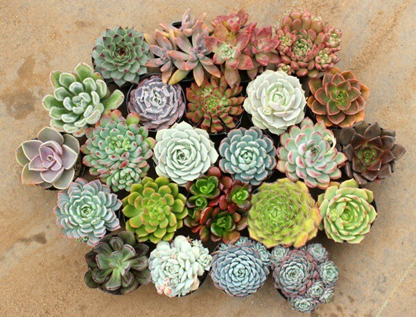 Những loại cây, hoa cả tuần không cần tưới nước, trồng chơi cũng đảm bảo ra hoa