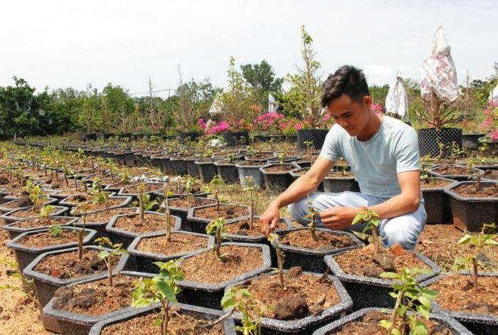 Thu nhập cao từ trồng mai và hoa giấy