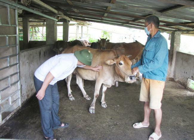 Bệnh dịch viêm da nổi cục xuất hiện trên đàn trâu, bò tại Mường Mô của tỉnh Lai Châu