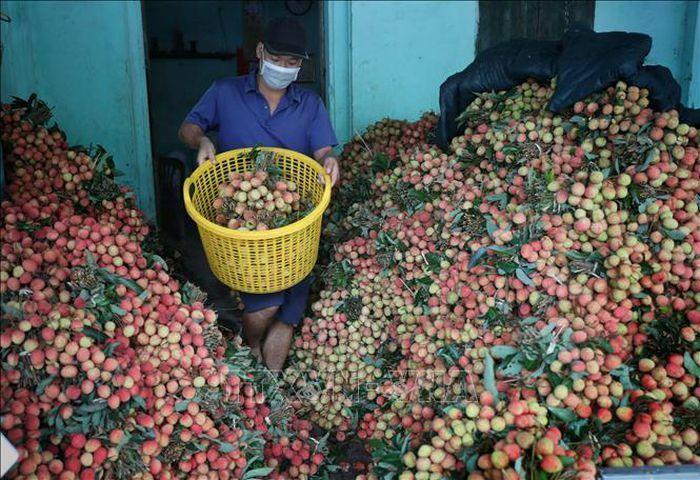 Vải sớm Bắc Giang được tiêu thụ thuận lợi