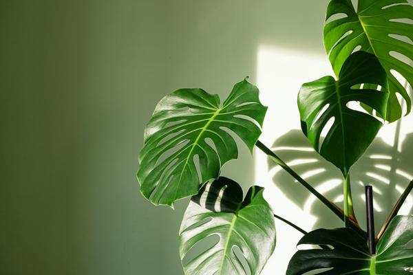 Gơi ý những loài cây không chỉ giúp không gian thêm trong lành mà còn đem đến may mắn và tài lộc cho 12 chòm sao