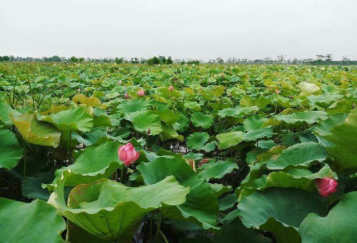 Biến đồng hoang thành đầm sen khổng lồ, anh nông dân lập kỷ lục triệu bông hoa - ảnh 1