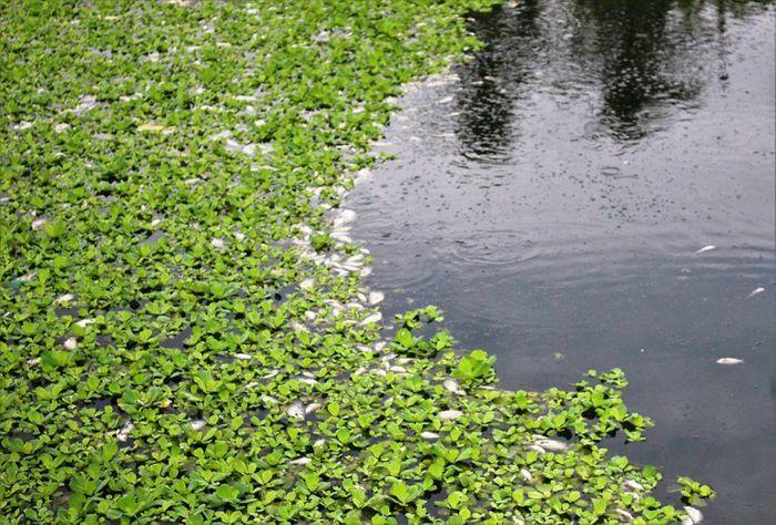 Quảng Nam: Cá chết nổi trắng hồ điều tiết bốc mùi hôi thối - ảnh 1