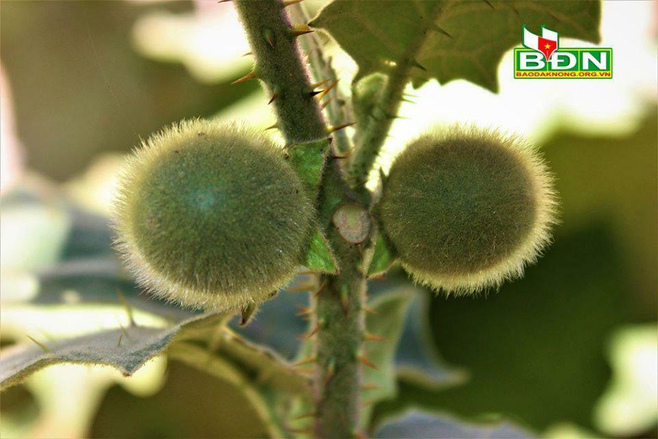 Đăk Nông: Loại cà chua lạ đầy lông và gai nhọn, ăn sống không cẩn thận là say của người M'nông, Mạ và Ê đê - ảnh 1