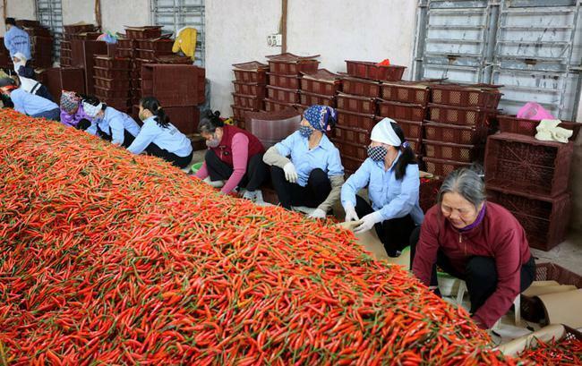 Trung Quốc đồng ý xem xét nhập khẩu khoai lang, riêng quả ớt, phải đáp ứng 1 trong 2 điều kiện ngặt nghèo này
