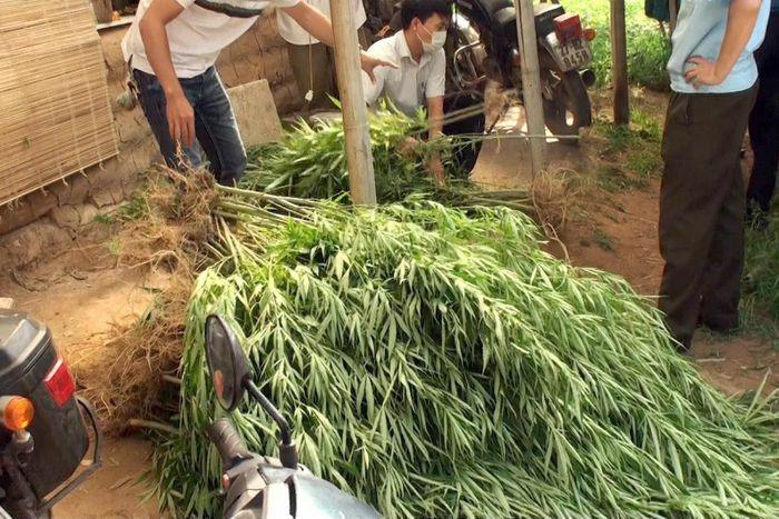 Lời khai của doanh nhân trồng 115 cây cần sa ở bãi sông Hồng - ảnh 1