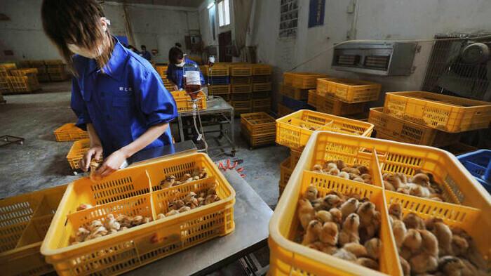 Phát hiện ca mắc cúm gia cầm H10N3 đầu tiên ở người tại Trung Quốc
