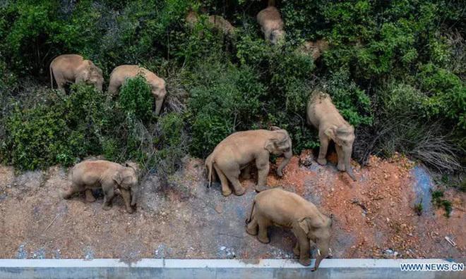 Chính phủ Trung Quốc đau đầu vì đàn voi bất trị - ảnh 1