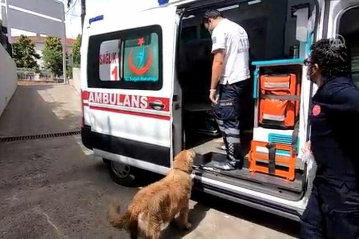 Xúc động chú chó trung thành chạy theo xe cấp cứu đưa chủ đi viện - ảnh 1