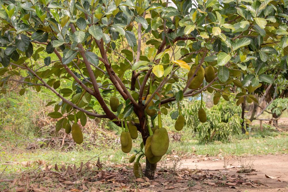 Ở nhà lá, chạy ăn từng ngày bỗng thành triệu phú nhờ trồng quả da sần sùi, đầy gai - ảnh 1