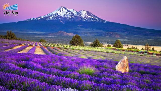 Ngắm hoa oải hương ngút ngàn dưới chân núi Phú Sĩ - ảnh 1
