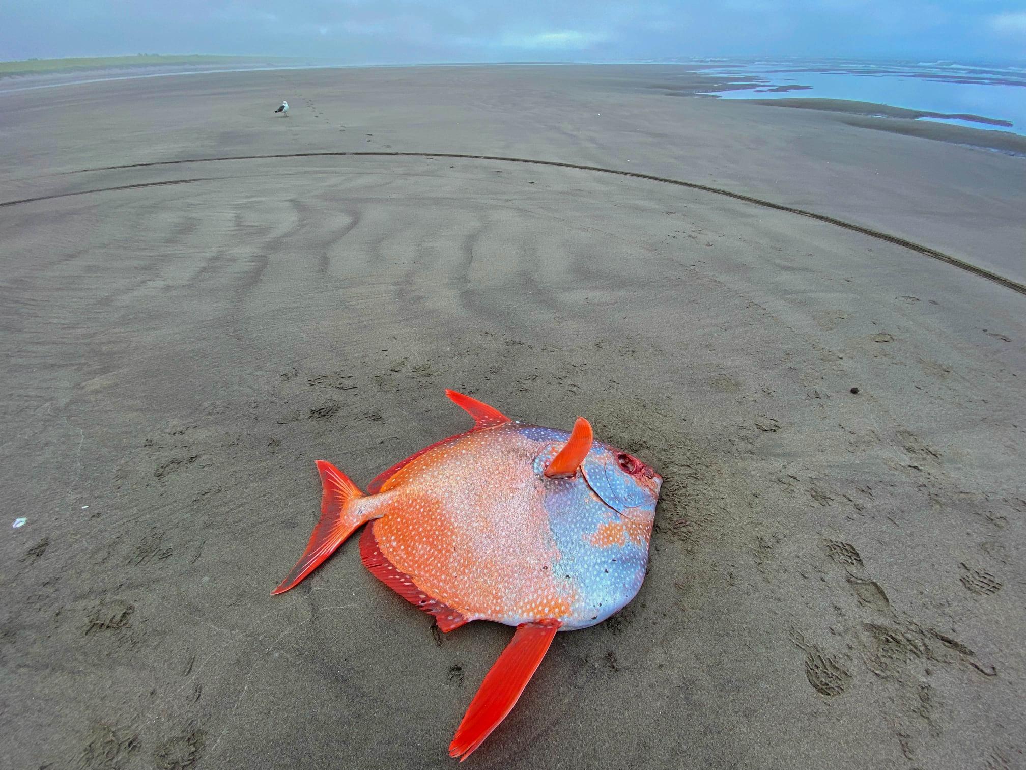 Cận cảnh chú cá mặt trăng khổng lồ dạt vào bờ biển tại Mỹ