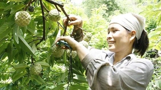 Lạng Sơn: Xúc tiến thương mại, thúc đẩy tiêu thụ sản phẩm na Chi Lăng và OCOP
