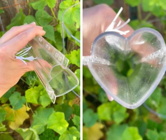 Trồng dưa chuột trong khuôn trái tim thu hoạch thành quả nhức nhối