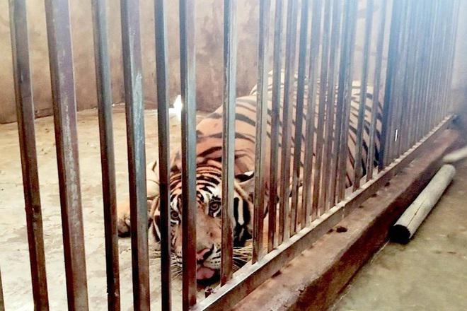 Tin tức 24h qua:Không thể thả những con hổ được nuôi trong nhà dân ở Nghệ An về tự nhiên
